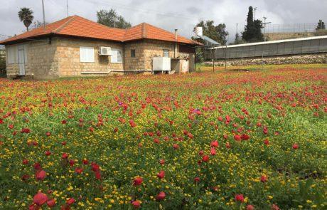 """חוקר נולד: מיזם חדש של הגן הבוטני באוניברסיטת ת""""א והחברה להגנת הטבע – סקר צבעי כלניות בישראל"""