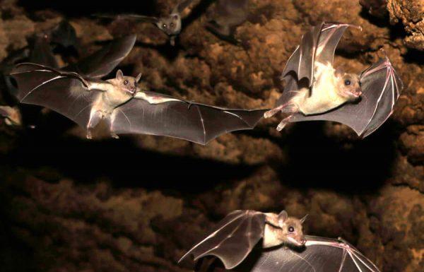 מחקר באוניברסיטת תל אביב: במצבים מסוימים עטלפים מעדיפים את חוש הראיה על פני חוש הסונר